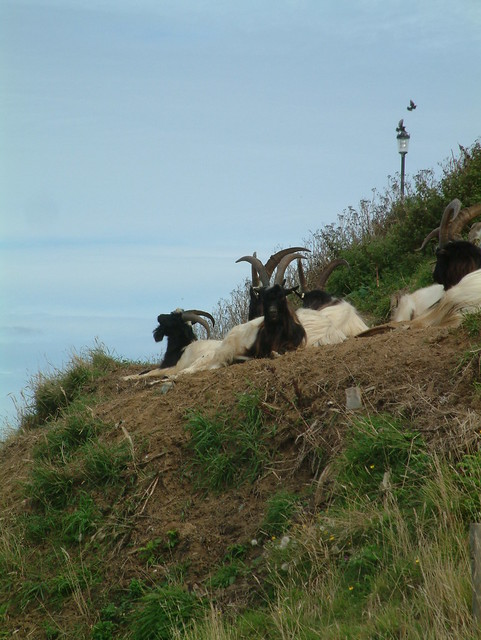 The Goats get a Summer Job - 1