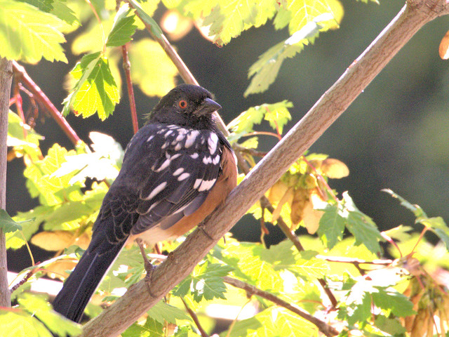 Spotted Towhee 02-20170911
