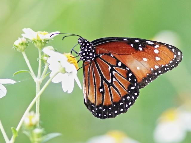 Queen butterfly 20170903