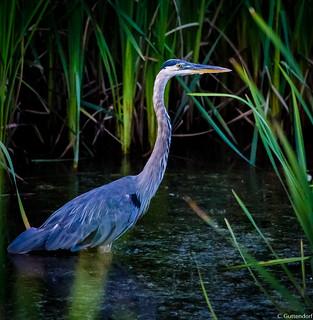 Blue Heron in Lewisburg