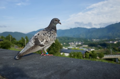 carrier pigeon | by tablexxnx