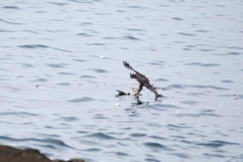 2017/08/13 (日) - 7:29 - 海上にいた鳥に襲いかかり、仕留めたところ。<br />