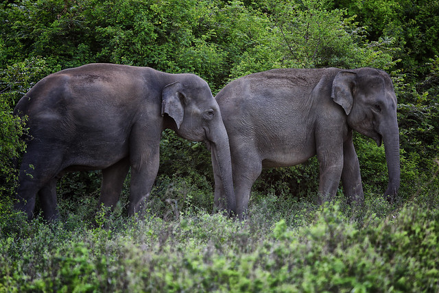 Wild Elephants In Minneriya National Park