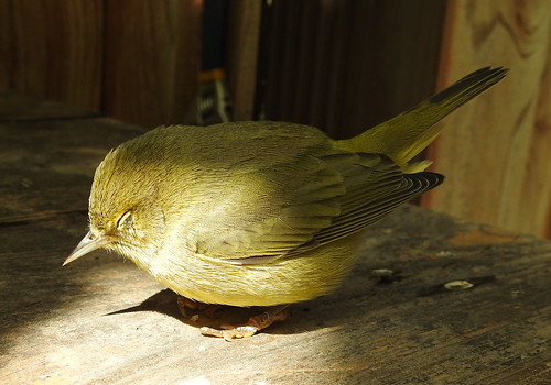 august 30 2017 13:11 - Orange-crowned Warbler | by boonibarb