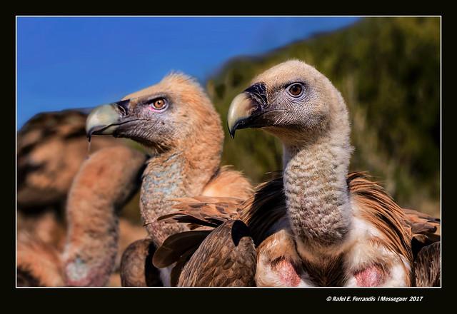 Voltors comuns 12 (Gyps fulvus) Eurasian Griffon Vulture  (Titagües, els Serrans. València, Spain)