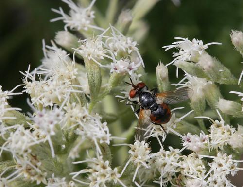 insect diptera tachinidae phasiinae gymnosoma northcarolina mountains canonef100mmf28macrousm fridayflyday inaturalist