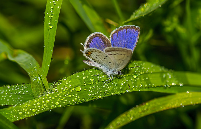 short-tailed blue or tailed Cupid, male