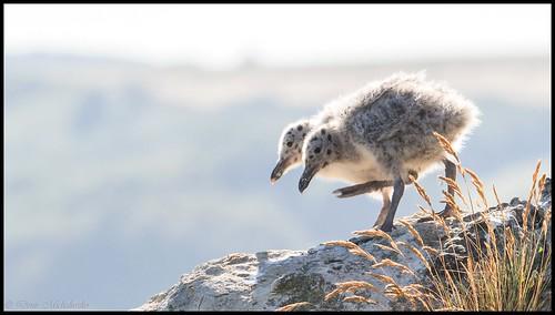 Goéland argenté / European Herring Gull | by denismichaluszko