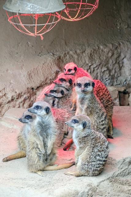 meerkats in winter - Erdmännchen im Winter