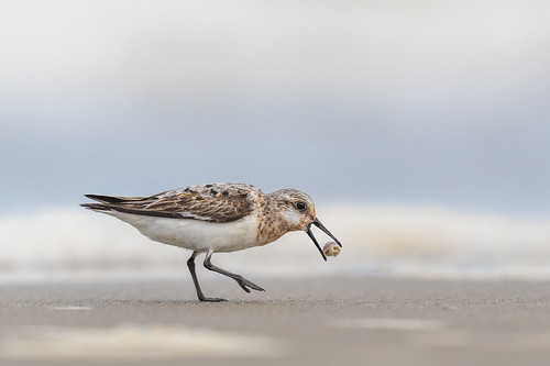 shorebird sand beach ocean feeding wildlife nature bird water oceancitynj peep sanderling fiddlercrab crab ocnj oceancity newjersey unitedstates us nikon d500