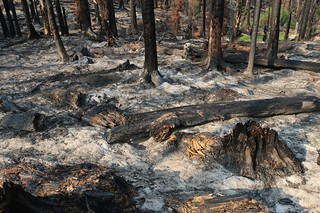 0598 This section of forest burned all the way into the ground, leaving a thick layer of powdery ash | by _JFR_