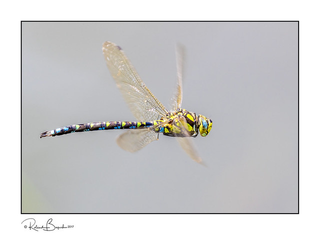 Southern Hawker Dragonfly (Aeshna cyanea) in flight