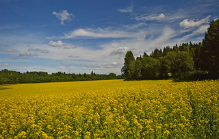A piece of Finnish countryside. Rapeseed field. 🌾 #Finland #Summer | by L.Lahtinen (nature photography)