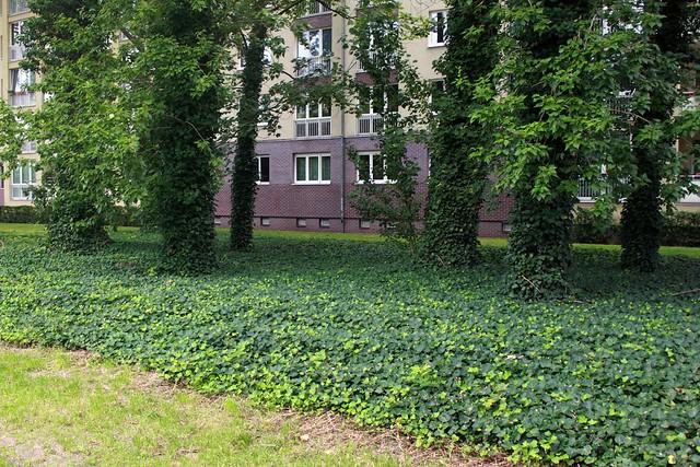 Efeu in der Lichtenberger Straße