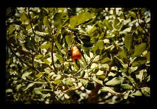 Fruit Of Cashew = カシューの果実