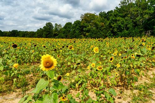 virginia burnside clouds landscape summer sunflower