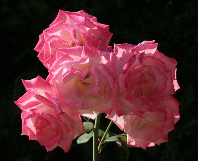 In an Enchanted Rose Garden