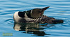 Himbrimi - Great Northern Diver/ Common Loon - Gavia immer by raudkollur