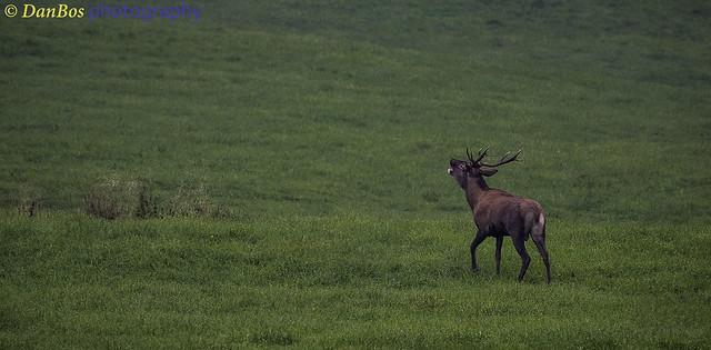 Deer roaring at dawn