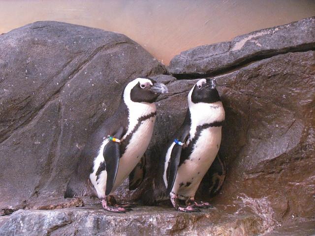 Pensive Penguins at the Georgia Aquarium -- Atlanta, GA, September 23, 2017