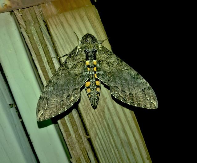 Carolina Sphinx Moth - Hodges#7775 (Manduca sexta) 1