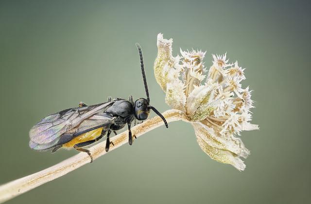 Wasp, Braconidae