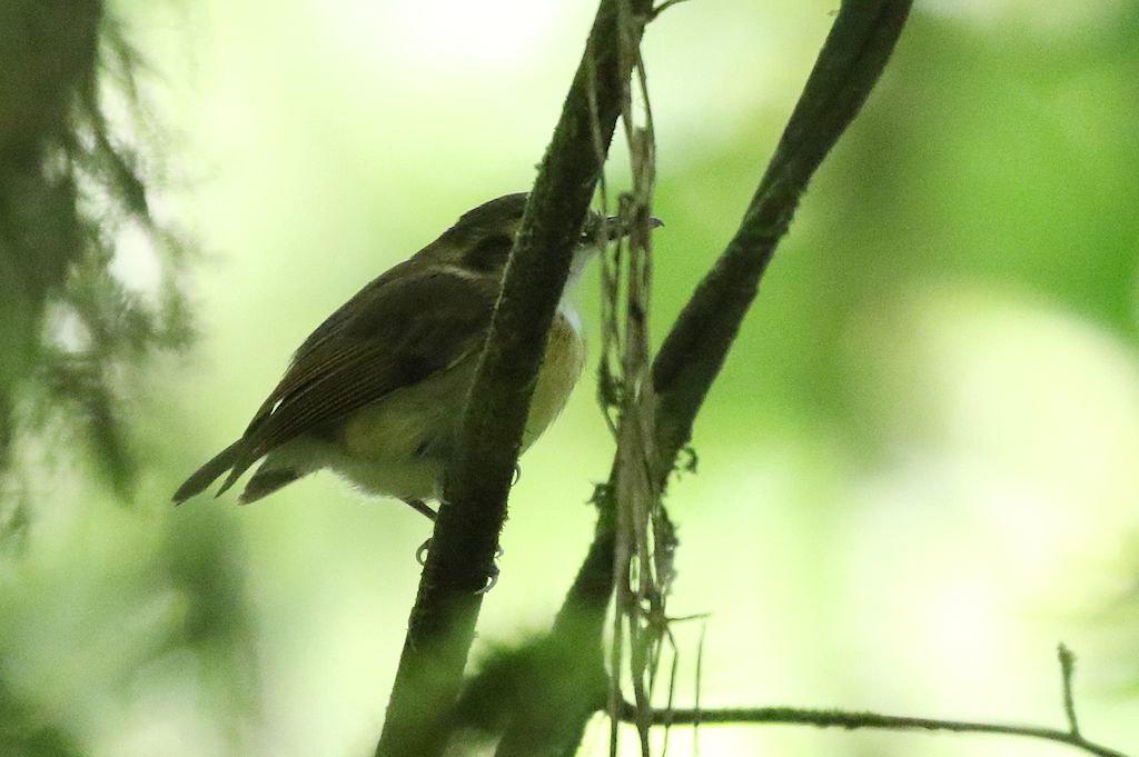 White-throated Spadebill - Platyrinchus mystaceus - Coclé, Panama - June 15, 2017