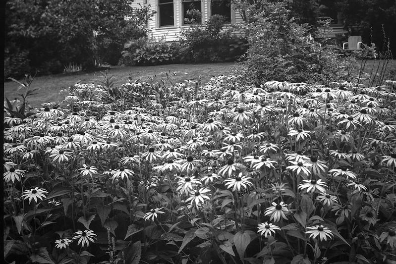 yellow daisies, Mary Alice's garden, Rockland, Maine, No. 1 Autographic Kodak Jr., Ilford FP4+, Moersch Eco Film Developer, 8.18.17