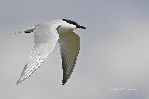 Gull-billed tern | by PETEJLB