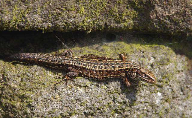 viviparous Lizard adult (1)