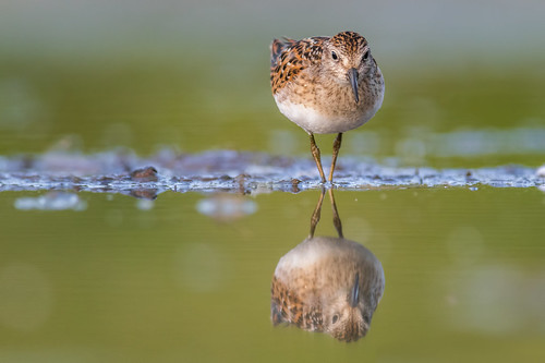 shorebird leastsandpiper wildlife nature calidrisminutilla water bird migration reflection sandpiper fortwashington pennsylvania unitedstates us nikon d500