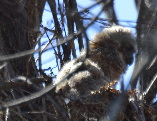 horned owlet petrie island 30042016_DSC5751 | by David Villeneuve