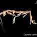 Flickr photo 'Caprella californica' by: EcologyWA.