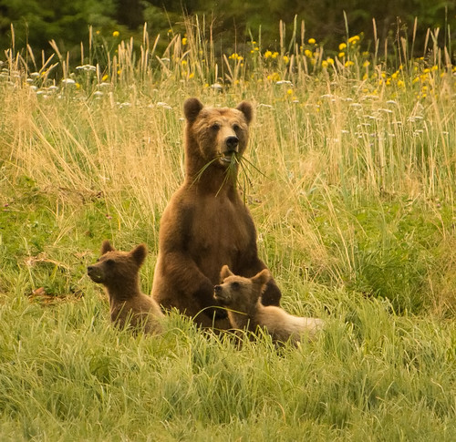Coastal Grizzly Family | by Sheila Newenham
