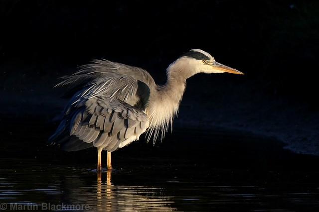 Golden Hour Heron 83850