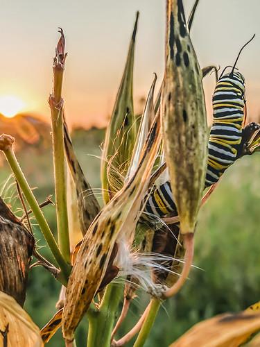 september 2017 minnesota googlepixel monarchcaterpillar insect sunset asclepiasincarnata swampmilkweed milkweed phonecamera