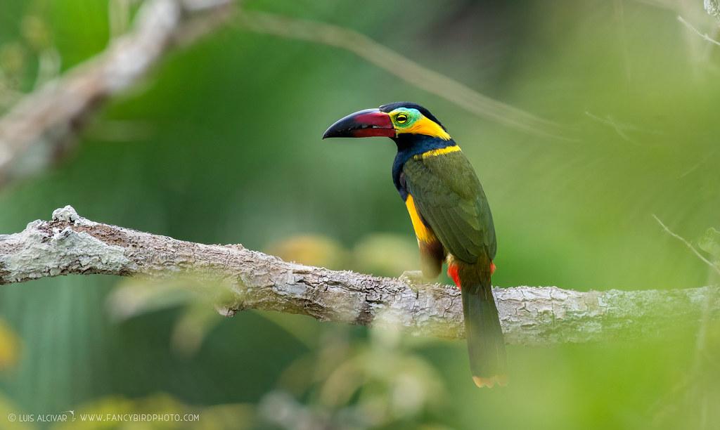Golden-collared Toucanet (Selenidera reinwardtii)   The touc…   Flickr