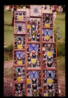 チョウの標本