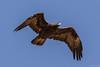 Golden Eagle by djbartling
