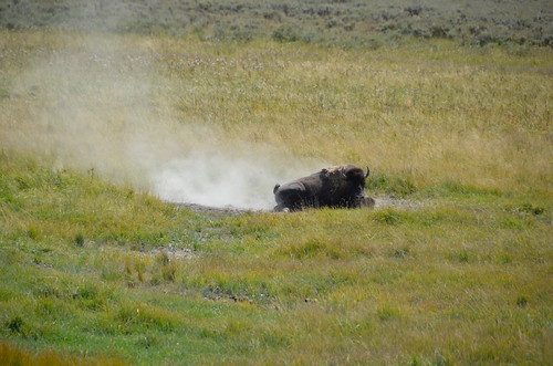 Yellowstone Bison in dust | by Pierre Yeremian