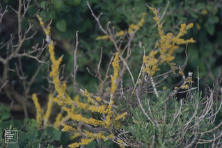 Lichen on twiggy dead succulent. Cape Point 1997