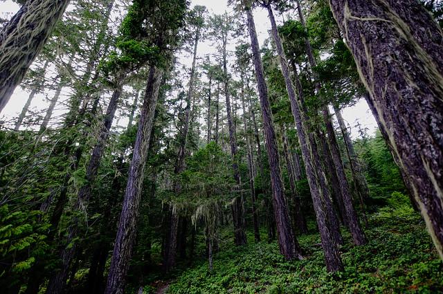 The tall pines of Washington