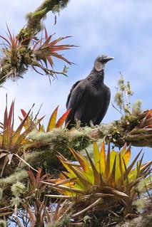 Black-headed Vulture
