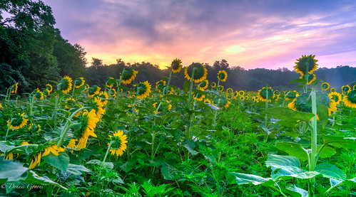 mckeebeshers background clouds landscape maryland sky summer sunflowers