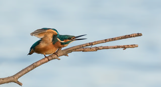 kingfishers take off 1 | by Evelakes67