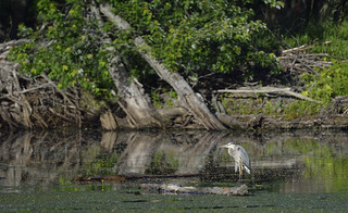 heron petrie island 19062015_DSC5211 | by David Villeneuve