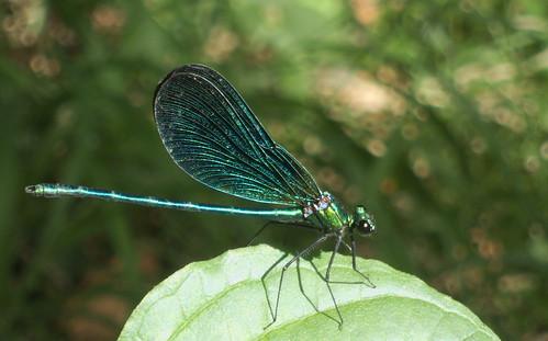 Beautiful demoiselle (Calopteryx virgo)   by The Pingus