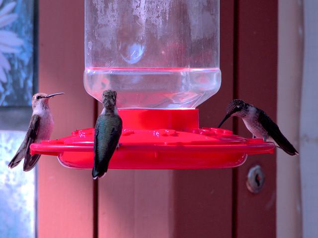 Hummingbirds 20170908