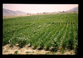 Supplemental Irrigation Experiment For Wheat = 補充かんがいによる小麦栽培試験