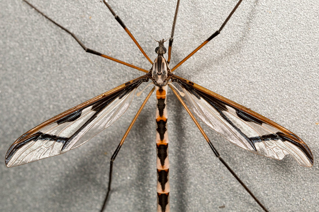 Giant Eastern Crane Fly - Pedicia albivitta